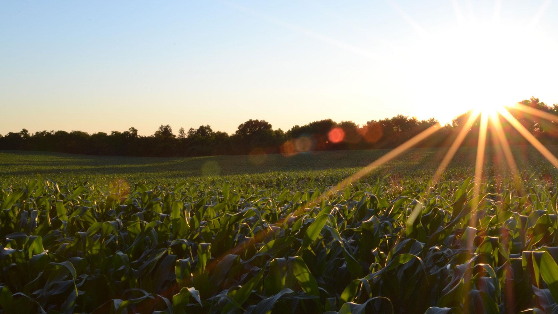 campo de cultivo en atardecer